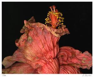 Hibiscus 4 by Kate Blacklock