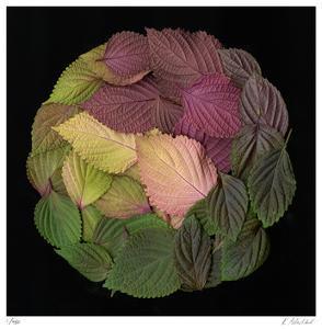 Leaves 4 by Kate Blacklock