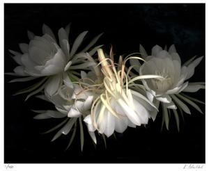 Night Bloomers by Kate Blacklock