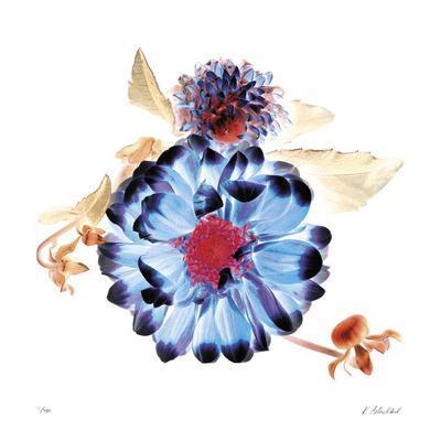 Translucent Dahlia