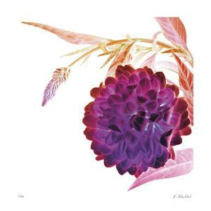 Violet Dahlia by Kate Blacklock