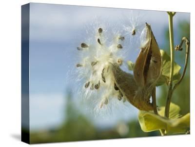 Close View Detail of a Milkweed Seed Pod Bursting