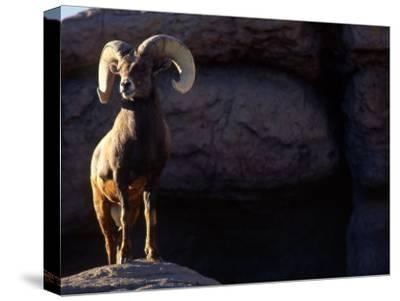 Desert Big Horn Sheep Stepping onto Rock Outcrop