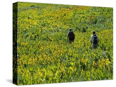 Hikers in an Alpine Meadow of False Hellebore