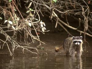 Racoon Walks into Creek for a Drink of Water by Kate Thompson