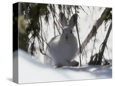 Snowshoe Hare Pauses under a Fur Tree in the Snow, Colorado
