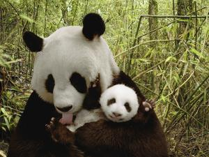 Giant Panda (Ailuropoda Melanoleuca) Gongzhu and Cub in Bamboo Forest by Katherine Feng