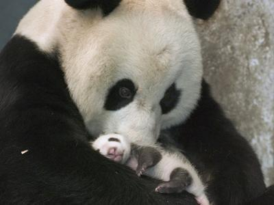 Giant Panda (Ailuropoda Melanoleuca) Mother and Her Cub, Wolong Nature Reserve, China by Katherine Feng