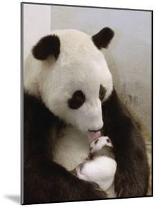 Giant Panda (Ailuropoda Melanoleuca) with Cub, Wolong Nature Reserve, China by Katherine Feng