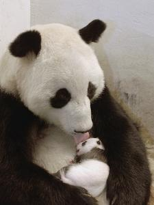 Giant Panda (Ailuropoda Melanoleuca) with Cub, Wolong Nature Reserve, China by Katherine Feng