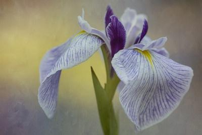 Close up of a Beautiful Purple Iris