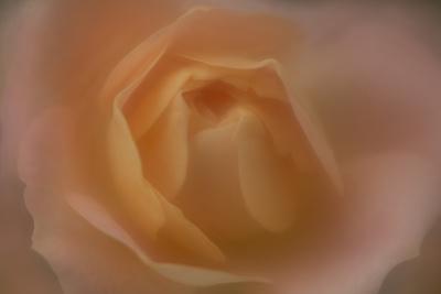 Soft Focus Orange Rose
