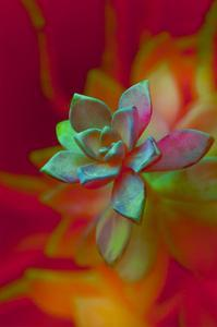 Succulent by Kathy Carbonetti