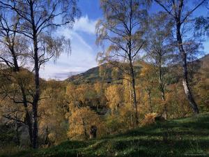 Birch Trees in Autumn, Glen Lyon, Tayside, Scotland, United Kingdom by Kathy Collins