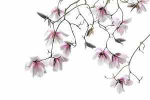 Bainbridge Magnolias II by Kathy Mahan
