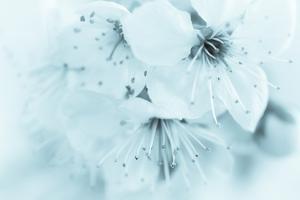 Cherry Blossom II by Kathy Mahan
