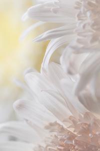 Chrysanthemum I by Kathy Mahan