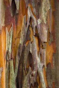 Crape Myrtle Bark II by Kathy Mahan
