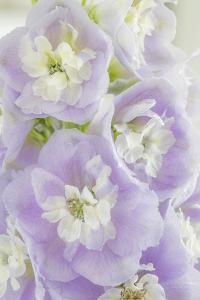 Delphinium Blossoms I by Kathy Mahan