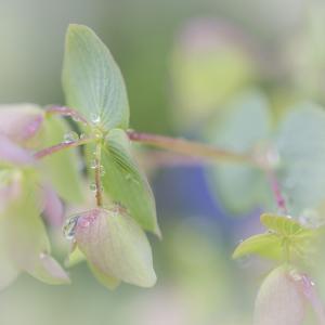Dew Covered Oregano I by Kathy Mahan