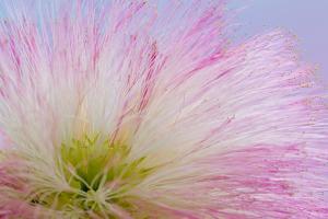 Mimosa Tree Blossom III by Kathy Mahan
