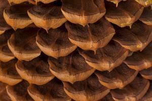 Pine Cone I by Kathy Mahan