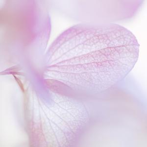 Pink Hydrangea I by Kathy Mahan
