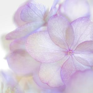 Pink Hydrangea II by Kathy Mahan