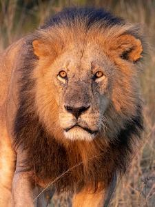 Approaching Lion by Kathy Mansfield