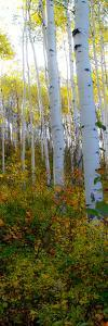 Aspen in the Day II by Kathy Mansfield