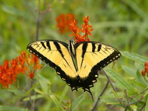 Black Yellow Butterfly I by Kathy Mansfield