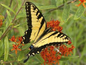 Black Yellow Butterfly II by Kathy Mansfield