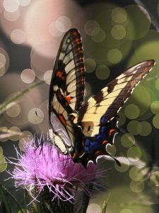 Butterfly Bokeh II by Kathy Mansfield