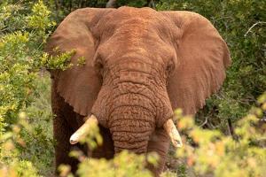 Elephant on Alert by Kathy Mansfield