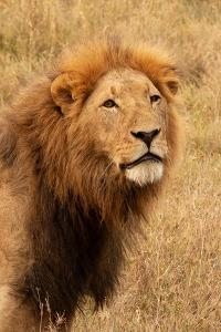 Lion's Intent Stare by Kathy Mansfield