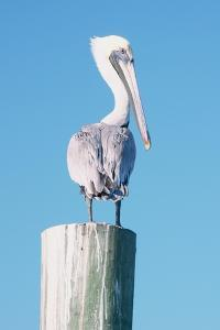 Pelican Perched I by Kathy Mansfield
