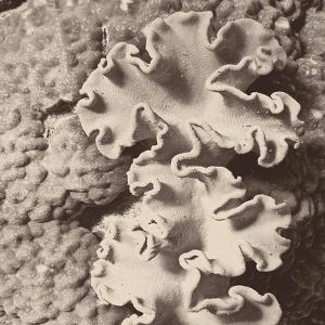 Sepia Barrier Reef Coral IV by Kathy Mansfield