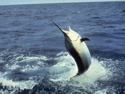 Swordfish Leaping in the Ocean