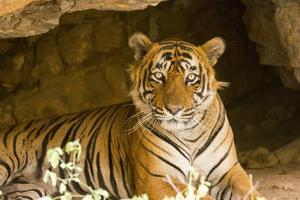 India, Rajasthan, Ranthambore. Royal Bengal Tiger known as Ustad (T24) Resting in a Cool Cave. by Katie Garrod