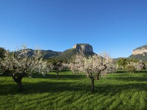 Almond Blossom, Serra De Tramuntana Auf Majorca, Balearics, Spain by Katja Kreder