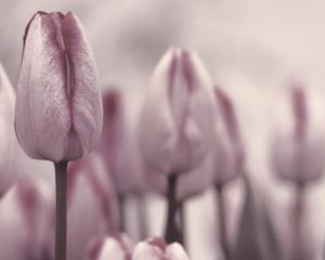 Les Tulipes I by Katja Marzahn