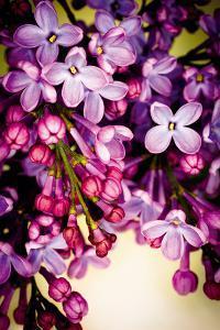 Lilac Rush by Katja Marzahn