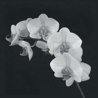 Orchid Illusion II