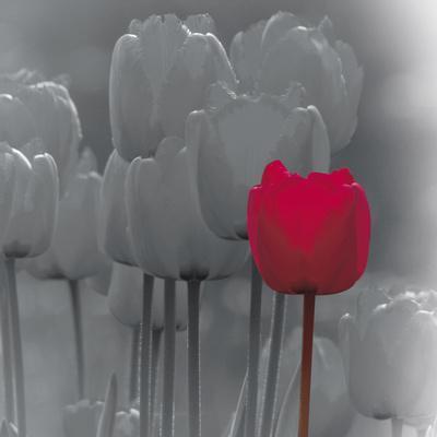Tulip Accent II