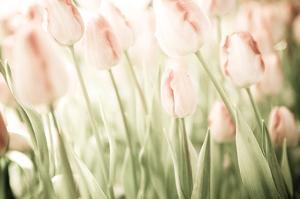 Tulips by Katja Marzahn