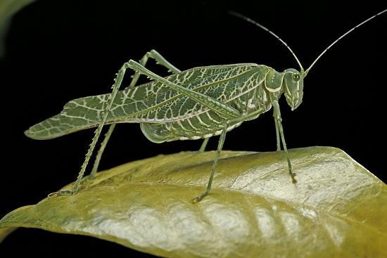 Katydid or Bush-Cricket or Long-Horned Grasshopper-Paul Starosta-Photographic Print