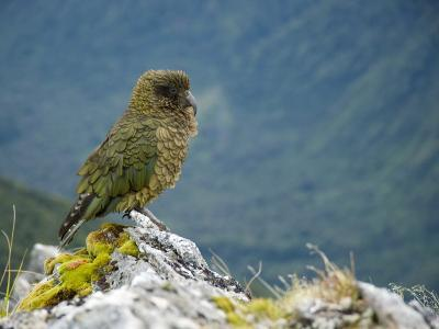 Kea, the Only Alpine Parrot on Mount Fox-Bill Hatcher-Photographic Print