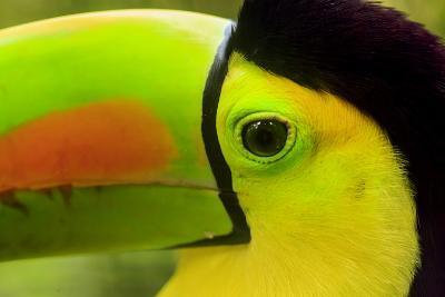 Keel-Billed Toucan, Belize City, Belize-Stuart Westmorland-Photographic Print