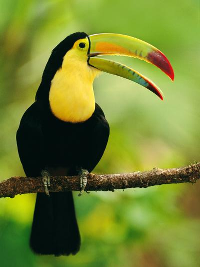 Keel-Billed Toucan, Ramphastos Sulfuratus, Belize-Frans Lanting-Photographic Print