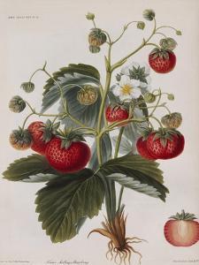Keen's Strawberry Seedling